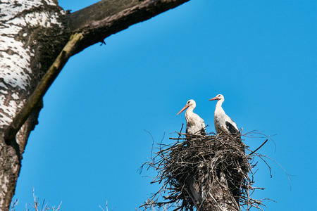 View of two storks in nest on high tree among branches. In the forest, under a clear spring blue sky.