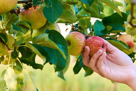 Hand of young woman holding red apple on tree among leaves. Harvesting autumn fruits. Banque d'images - 128433677