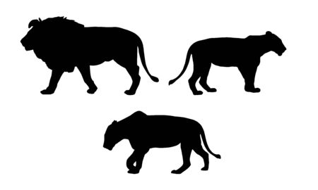 Set realistic silhouettes of one lion and two lionesses, animals in the wild, isolated on white background - vector