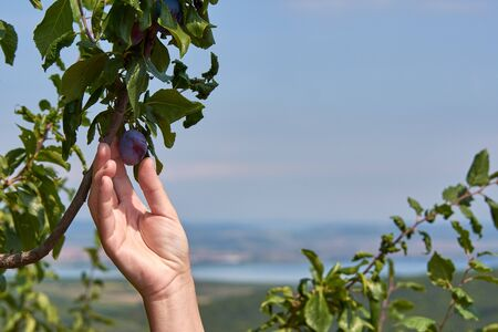 Female hand holding and harvesting a plum from a branch with leaves on a clear sunny day Фото со стока