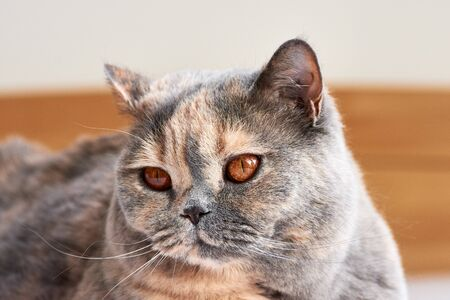 Head of shorthair british cat with big eyes and beard. Lying and resting. Фото со стока