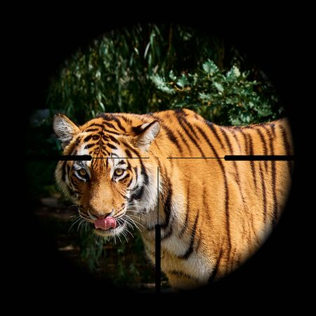 A view of a tiger in the wild or nature through the sight of a hunting rifle with a deliberate cross. Jungle and wildlife
