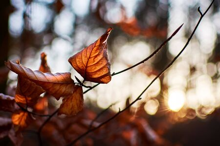 Closeup photo of a beech leaf on a tree branch in a forest with winter sun on a blurred background.