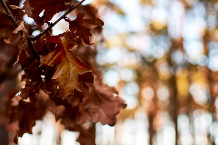 Closeup photo of a oak leaf on a tree branch in a forest with winter or autumn sun on a blurred background.