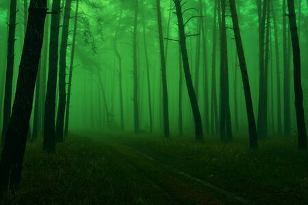 Photo of a green fairytale forest with pine trunks, a footpath and a morning spring mist.