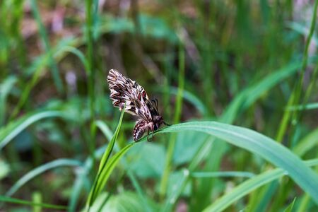 Endangered butterfly Zerynthia Polyxena on a spring morning on a blade of grass