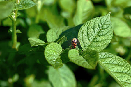 Close-up photo of a potato beetle on a plant leaf in a field. Suitable for banner protection or pest control for agriculture.