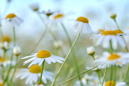 Close-up photo of a wild chamomile flower in a meadow on a sunny day. Pure white petals and blurred background.