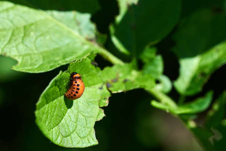 Close-up photo of a potato beetle on a plant leaf. Agricultural pest on a farm in South Moravia in the Czech Republic.