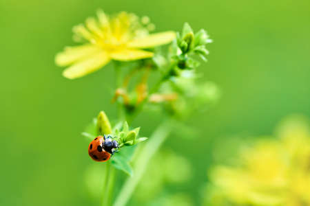 Macro photo of a ladybug on a plant with yellow flowers on a beautiful summer day. Blurred green background with space for text.
