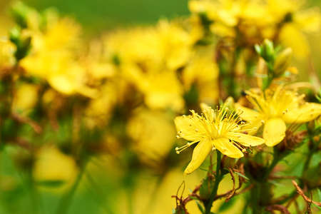 Close-up photo of St. John's wort flower with defocused yellow-green summer meadow background.