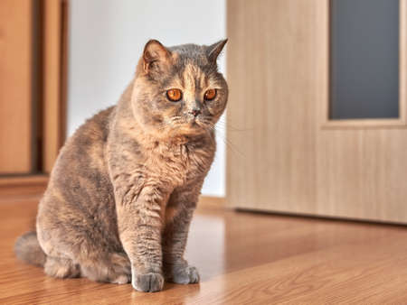 Photo of a British shorthair cat with big eyes. She is sitting on the wooden floor in a room with the door closed. Reklamní fotografie