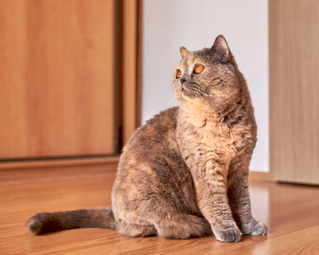 Photo of a British shorthair cat with big eyes. She is sitting on the wooden floor in a room with the door