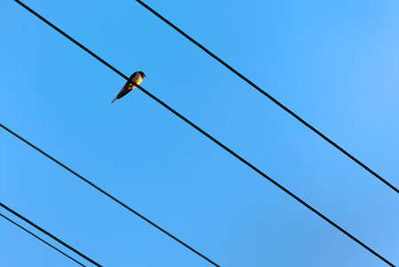 Swallow sitting on wires of power lines under blue sky, with space for your text