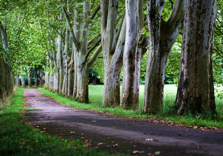 View of a plane tree alley with a path between the lawn on a summer sunny morning Banque d'images