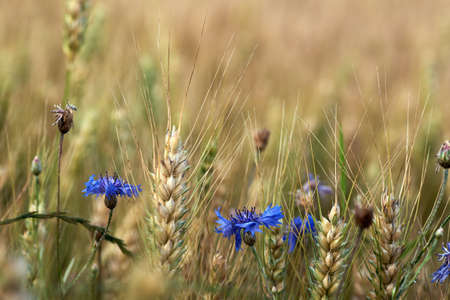 Close-up view of ears of corn and blue cornflower flowers before harvest, on a clear summer day