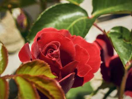 Close-up view of a blooming red rose with petals and green leaves in a spring or summer garden
