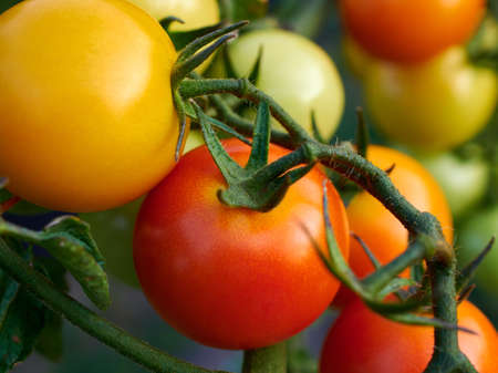 Close-up view of ripe red and yellow tomatoes on a bush or plant