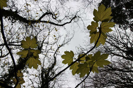 Looking up and new sycamore leaves in spring