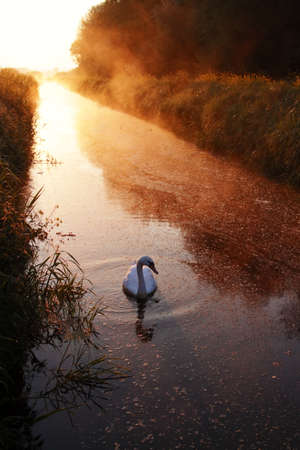 Mute swan on canal on Somerset Levels at sunrise
