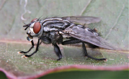 Macro image of house fly on a leaf drinking from water droplet Banco de Imagens