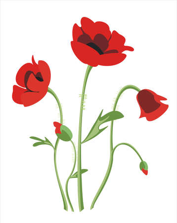 poppy flowers: poppy flowers isolated illustration