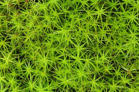 Close-up of princess pine groundcover Stock Photo - 8991975