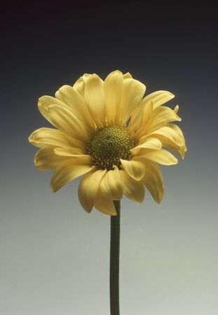 ornamentals: Single yellow daisy against a gray gradated background Stock Photo