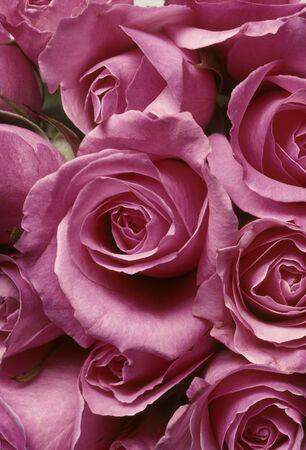 Closeup of pink roses in a tight arrangement BFS20929214