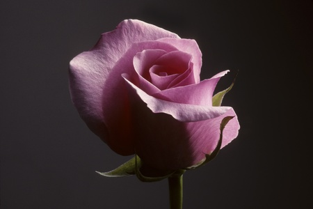 ornamentals: Closeup of a pink rose against a dark gray background Stock Photo