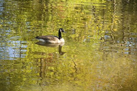 water fowl: Goose or mallard swimming in a autumn stream with rippled reflections in the water  Stock Photo