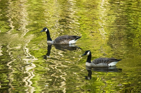water fowl: Two geese or mallards swimming in an autumn stream with rippled reflections in the water
