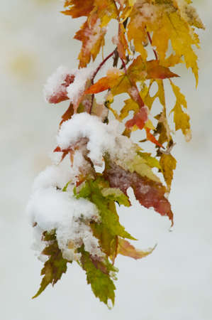 Snow on yellow, orange, green and red autumn leaves. A rare occurrence.