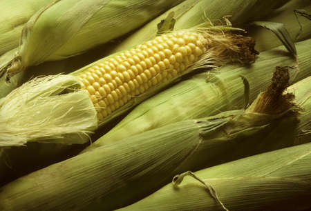 shuck: Several ears of yellow sweet corn with one shucked