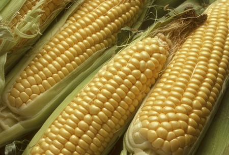 Ears of Sweet Corn or Maize Husked, Revealing Yellow Kernels
