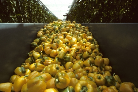 Oogst bin van gele paprika in Nederland Stockfoto