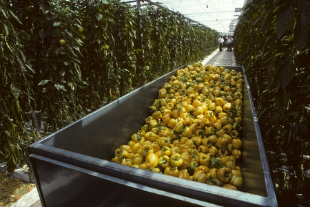 A harvesting bin of yellow bell peppers in a glasshouse or greenhouse in Holland or the Netherlands photo