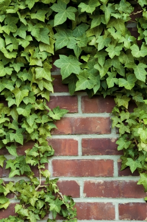 Ivy around the edges on a red brick wall  photo