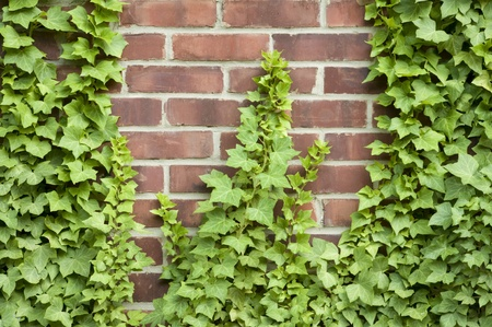ivy wall: Ivy growing up a red brick wall