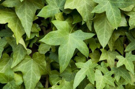Ivy on a brick wall Banco de Imagens