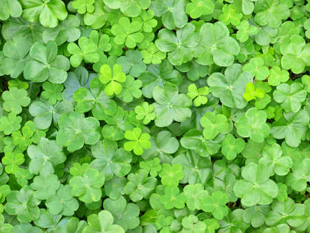 shamrocks: a cluster of green clover