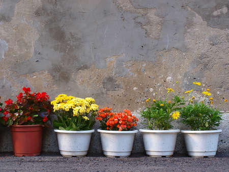 beautiful flower of five pots   Stock Photo