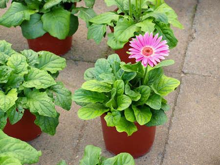 Beautiful pink gerber in pots
