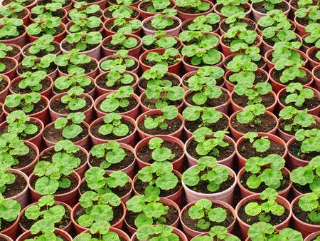 Pots of seeding arranged in teams