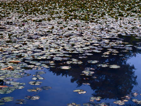 water lilies on a blue pond    Stock Photo