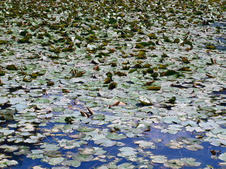 water lilies on a blue pond