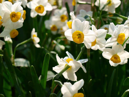 narcissus flower and leaves   Stock Photo