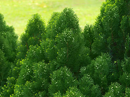 Green cypress tree, close up