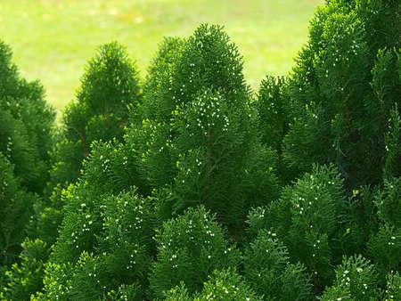cypress tree: Green cypress tree, close up
