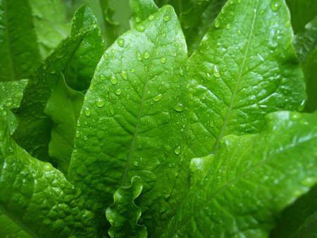 Green leaves with drops of water after a rain